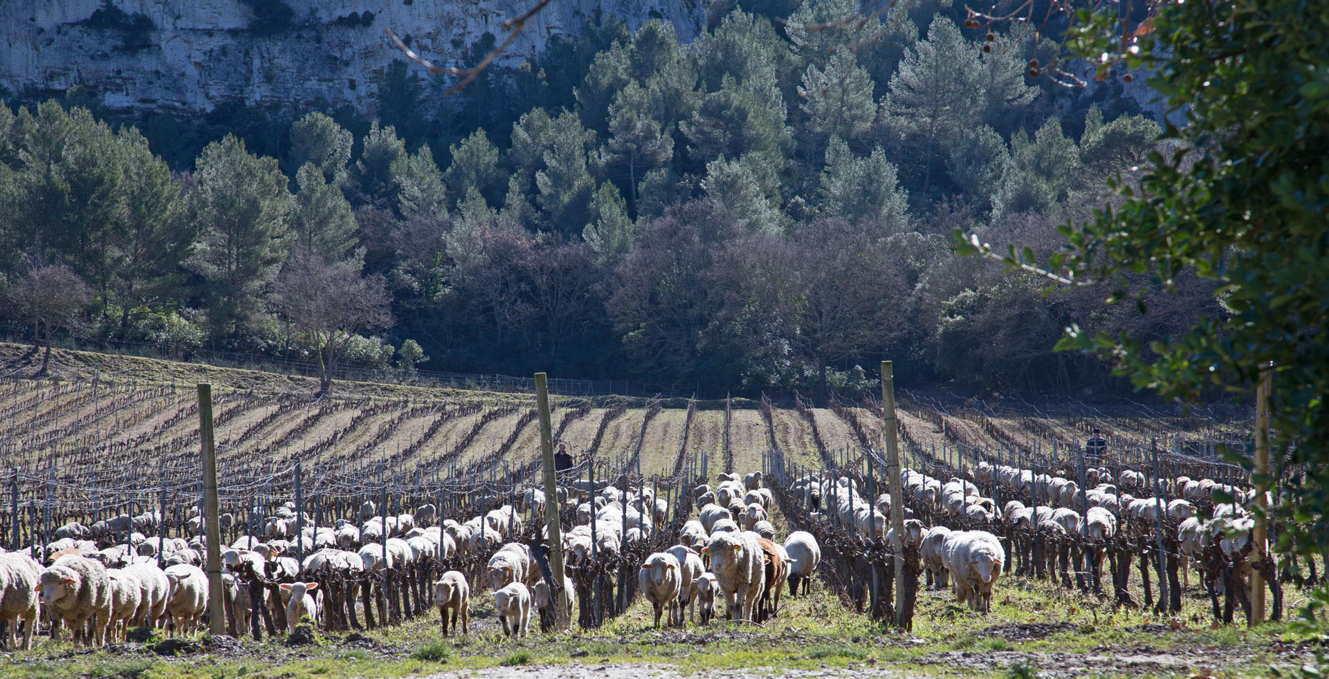 Moutons à Barbanau